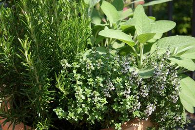إقبال على زراعة النباتات الطبية والعطرية في إدلب