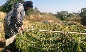 حمص: توقعات باستلام مليون كيلوغرام من التبغ