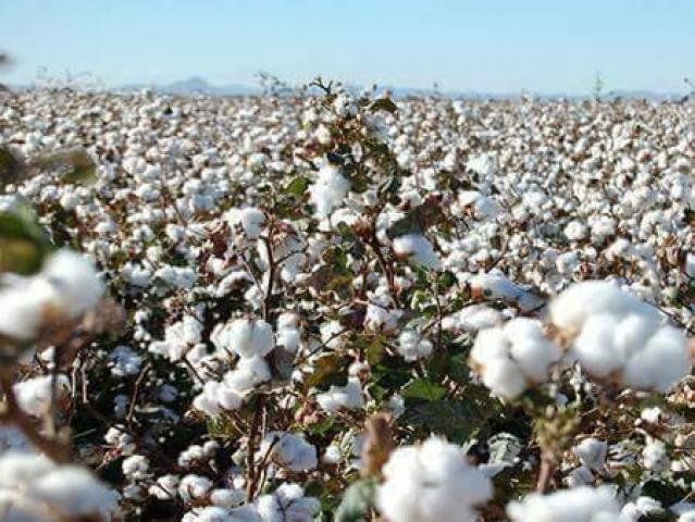 الحسكة: «19» ألف طن إنتاج القطن