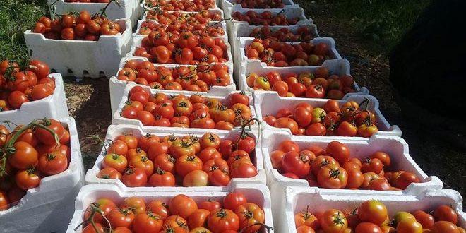 فلاحو طرطوس: الخضار من المزارع الى المستهلك بسعر التكلفة