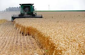 قلة الحصادات تؤخر جني محصول القمح في السويداء