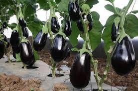 زراعة السويداء تقدّر إنتاجها من الباذنجان بـ «1306» أطنان